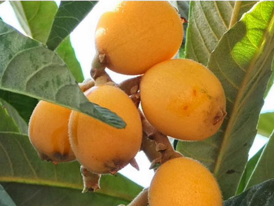 gastronomy of the costa blanca fruits