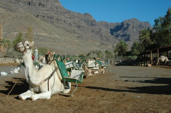 gran canaria with kids camel ride